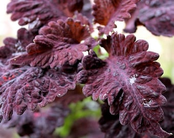Coleus Seeds-Black Dragon-Intense Color,very Showy,Perfect for adding some intense color into the shade border,Shade Loving, foliage plant