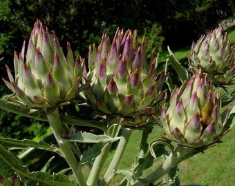 Purple Artichoke Seeds A.K.a, Cardoon,Thistle-Use as vegetable and grown for their large purple flowers & attractive silvery leave,Perennial