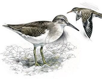 Spotted Sandpiper - bird art, wildlife art - nature print of original artwork