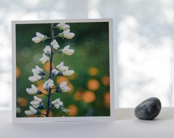 White indigo, prairie plants, nature photography, Wisconsin photography, natural prairie, square print