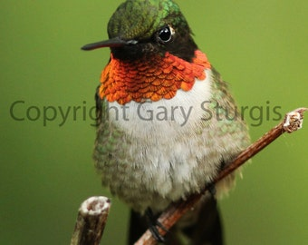 Hummingbird at Rest print