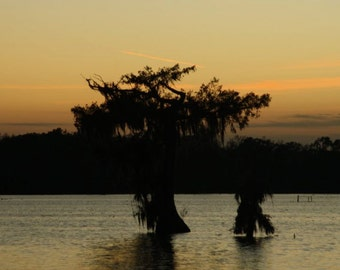 Cypress Tree at Dusk Print