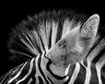 Zebra Ears Print, African Animal Photography, Nature Photography, Animal Photo, Zoo, Macro, African, Fine Art Photography, 5x7, 8x10, 11x14