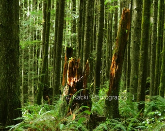 DIGITAL DOWNLOAD  Timber Light in Vancouver Island Rain Forest.