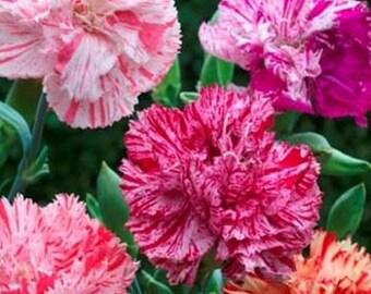 Carnations- Picotee mix- 50 Seeds
