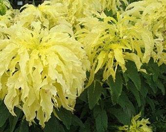 Amaranthus Seeds- Various Varieties- 100 Seeds