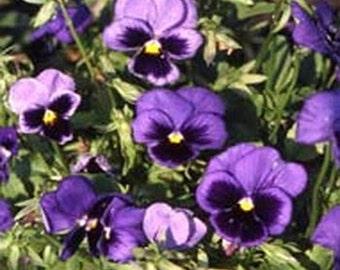 Pansy Seeds-Ullswater- 50 Seeds