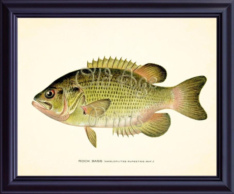 Denton fish print rock bass 8x10 art print vintage antique for Rock bass fish