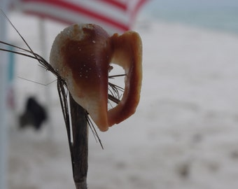 Baby Conch Shell on Palm Frond