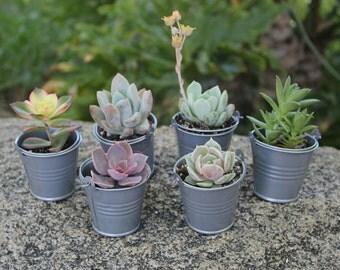 """12 DIY All Rosette  Succulent FAVORS w 12 2"""" Pails succulents make great gifts favor flowers DIY"""