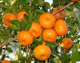 Cold-hardy Sweet Tangerine mandarin Orange Tree Seeds ( Citrus reticulata ) 20+ fresh seeds