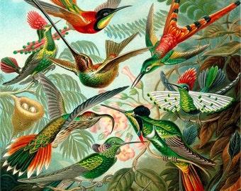 Ernst Haeckel illustrated Fridge Magnet