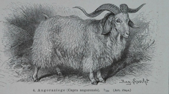 Goats engraving. Capra print. 1897. Antique illustration. 118 years lithograph. 9'6 x 6'2 inches.