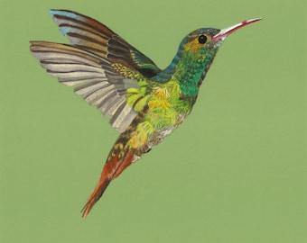 Print of an original pastel drawing of a hummingbird Amazilia tzacatl