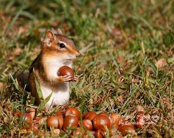 Nature Photography, Chipmunk art, chipmunk photography, 8x10, 13x19, 5x7, 8.5x11 Chipmunk hits the Jackpot!!