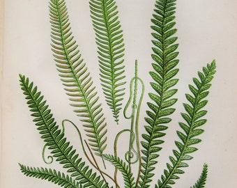 Anne Pratt Antique Fern Print - Hard Ferns Botanical Print