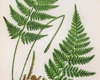 Anne Pratt Antique Fern Print - Narrow Prickly Toothed Ferns Botanical Print