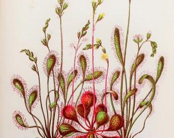 Anne Pratt Antique Botanical  Print -  Sundew Carniverous Plant (34)