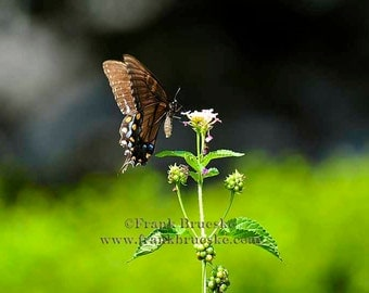 Fine Art Photography; Butterfly, Butterflies, Fine Art Prints, Summer Scenes, Butterfly Art,  Butterfly art Prints, Butterfly Photography