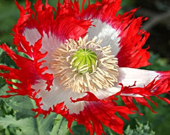 Poppy Danish Flag Flower Seeds (Papaver Somniferum) 200+Seeds