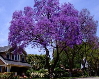 Royal Empress Tree Seeds (Paulownia tomentosa) 50+Seeds