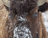 Snow faced American Bison, Wildlife Photography, Fine Art, Wall Decor, Animal Photography, Rob's Wildlife, Epic Wildlife Adventures