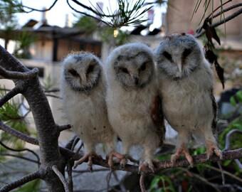 Needle Felted Owl . Barn owl.