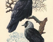 Rook, Jackdaw, Vintage Bird Print Tunnicliffe 23, 1947 Bird Picture, Frameable Art, Country Cottage Decor, Library Decor
