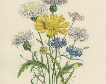 Vintage Flower Print, Blue, Yellow Corn Flower, Botanical Flower, Jane Loudon 3, Natural History, Blossom Art, 1948