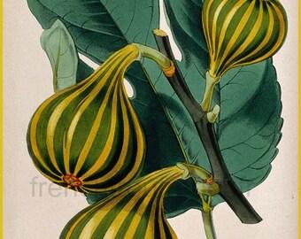antique french botanical print fig tree illustration DIGITAL DOWNLOAD