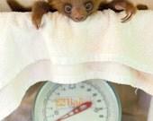 CUTE BABY SLOTH Photo Pri...