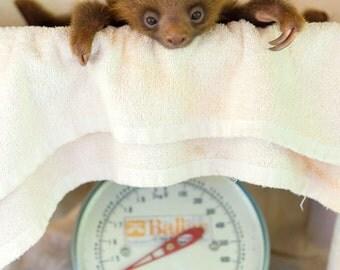 CUTE BABY SLOTH Photo Print,  Baby Animal Photography, Wildlife Photography, Nursery Wall Art, Safari Nursery Decor, Baby Shower, Cute, Zoo