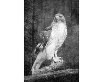 Red Tail Hawk perched on a branch in the Woodlands in West Michigan No.02735 A Black and White Fine Art Bird Nature Photograph