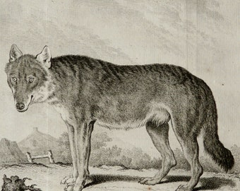 1771 Antique print of a WOLF. 245 years old rare Buffon copper engraving