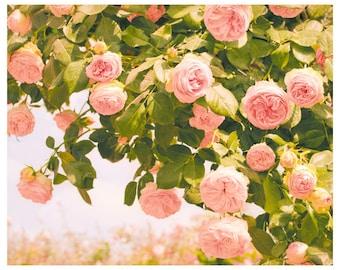 Roses photography oversized art, pink flowers art print, Romantic pastel Roses, extra large wall art, living room decor, 11x14, 24x30, 20x24