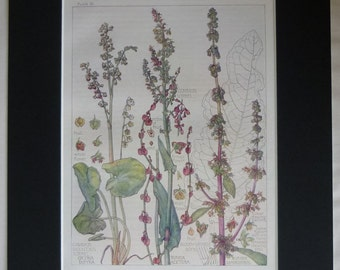 1910 Edwardian Botanical Print of Pink Wildflowers by H Isabel Adams Beautiful floral art, antique wildflower decor - Pretty Delicate Gift