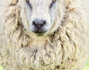 "Animal Photography - sheep versailles paris cream wall decor neutral 8x10 prints16x20 11x14 animal art print cute animal - ""Bad Hair Day"""""
