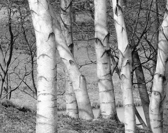 White Birches decor, birch tree wall art photo print, black and white pictures, large canvas, B&W photography 8x10 11x14 12x12 16x20 20x30