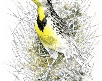 Western Meadowlark - bird wildlife art - nature print of original artwork
