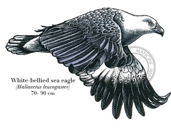 Bird illustration - White-bellied Sea Eagle - bird art, print of original scratchboard artwork