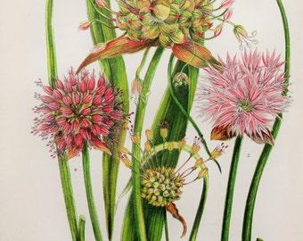 Anne Pratt Antique Botanical Print - Garlic & Chives (225)