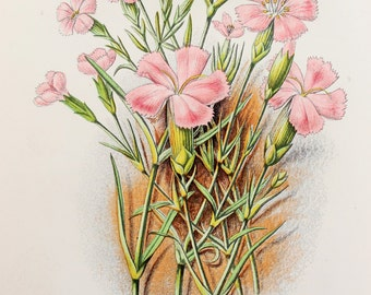 Anne Pratt Antique Botanical  Print -  Pinks or Dianthus