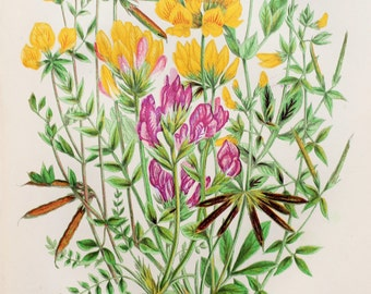 Anne Pratt Antique Botanical Print - Bird's Foot Trefoils, Oxytropis (61)