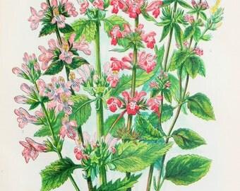 Anne Pratt Antique Botanical  Print - Wood Betony, Woundwort (164)