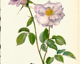 VINTAGE ROSE PRINT Pink Rose 1965 Botanical Print - Perfect Gift for Anniversary, Wedding, Birthday, Graduation, Christmas (Rose 34)
