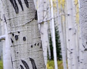 Aspen Trees Aspens Claw Marks Bear Fall Colorado Autumn Aspen Forest Rustic Cabin Lodge Photograph