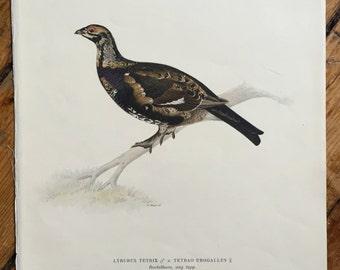 1924 grouse Von Wright swedish birds original antique bird print color lithograph - lyrurus tetrix