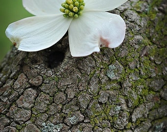 White Dogwood Flower Photograph, Botanical Wall Art Home Decor, Beautiful Spring White Flower Fine Art Nature Photography