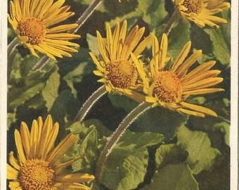 Vintage Botanical Postcard, Used 1949, Great Flowering Aronic, Thor E. Gyger, Switzerland  #713