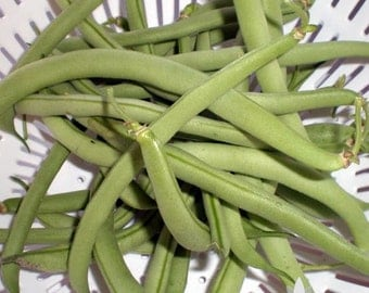 Contender Bush Bean Heirloom Seeds - Non-GMO, Open Pollinated, Untreated